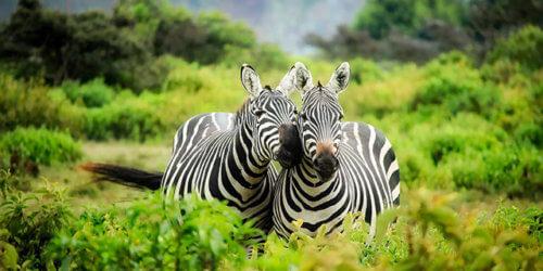 Fotografi på två zebror bland gröna buskar