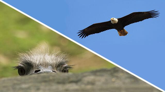 Collage med en struts som kikar upp över en stock, samt en örn som flyger mot en blå himmel.